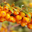 Branch of seabuckthorn. — Stock Photo #18497609