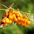 Branch of seabuckthorn. — Stock Photo #18497615