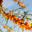 Branch of seabuckthorn. — Stock Photo #18497621