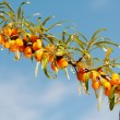 Branch of seabuckthorn. — Stock Photo #18497629