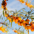 Branch of seabuckthorn. — Stock Photo #18497741