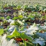 Canola plants. — Stock Photo