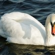 Angry swan. — Stock Photo