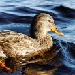 Stock Photo: Wild duck.