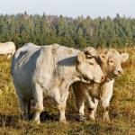 Animals on meadow. — Stock Photo