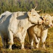 Stock Photo: Calf and cow.