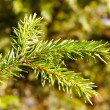 Brunch of fir-tree. — Foto Stock