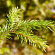 Stock Photo: Brunch of fir-tree.