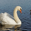 Graceful swan and duck. — Stock Photo