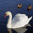 Swan and two ducks. — Stock Photo