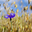 Cornflower on a field. — Stock Photo