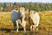 White cows. — Foto Stock