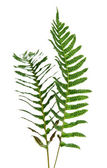Two branches of fernery. — Stock Photo