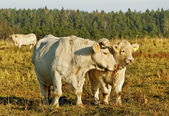 White cows and calf. — Stock Photo