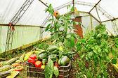 Greenhouse inside. — Stock Photo
