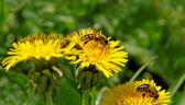 Včely na divoké květiny. — Stock fotografie