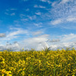 Raipseed field. — Stock Photo #30659625