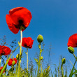 Stock Photo: Poppy flowers.