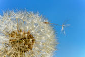 Dandelion. — Photo
