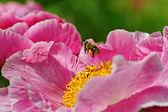 粉色牡丹花卉 — 图库照片