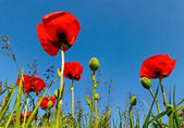 Poppy flowers. — Stock Photo