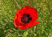 Poppy flower. — Stock Photo