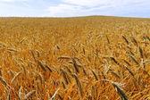 Field of growing wheat. — Stock Photo