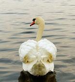 Cigno sull'acqua. — Foto Stock