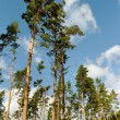 Stock Photo: Group of pine trees.