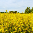 Rape field. — Stock Photo