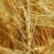 Ready wheat. — Stock Photo #30660281