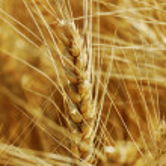 Ready wheat. — Stock Photo #30660281