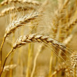 Ready wheat. — Stock Photo #30660547