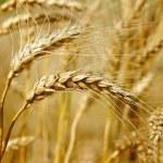 Ready wheat. — Stock Photo #30660547