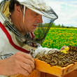 Foto Stock: Working apiarist.