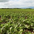 Stock Photo: Green potatoes field.