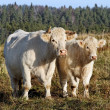 Stock Photo: Cow and calf.