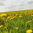 Stock Photo: Meadow with dandelions.