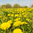 Dandelions field. — Stock Photo