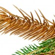 Twigs of fir tree. — 图库照片