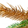 Stockfoto: Twigs of fir tree.