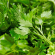 Group of parsley. — Stock Photo