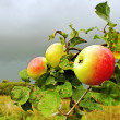 Apple garden. — Stockfoto