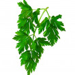 Twig of parsley. — 图库照片
