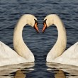 Swans on the water. — Stock Photo
