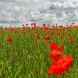 Poppies on the field. — Stock Photo