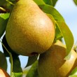 Pears on the tree. — Stock Photo