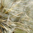 Surface of dandelion. — Stock Photo
