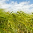 Barley field. — Stock Photo