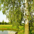 Birch tree at the pond. — Stock Photo